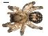 (Cybaeus reticulatus - BIOUG00515-B04)  @13 [ ] Copyright  G. Blagoev 2010 Unspecified