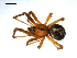 (Theridion pictum - BIOUG00612-A03)  @13 [ ] Copyright  G. Blagoev 2010 Unspecified