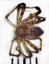 (Philodromus margaritatus - STEP-339)  @14 [ ] Unspecified (default): All Rights Reserved  Unspecified Unspecified