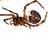 (Steatoda paykulliana - 10BGSPI02-F08)  @13 [ ] CreativeCommons - Attribution Non-Commercial Share-Alike (2010) Gergin Blagoev, Biodiversity Intitute of Ontario Biodiversity Institute of Ontario