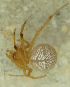 (Theridion melanostictum - BIOUG01969-F07)  @13 [ ] Copyright  G. Blagoev 2012 Unspecified