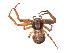 (Xysticus locuples - BIOUG01973-H05)  @14 [ ] Copyright  G. Blagoev 2012 Unspecified