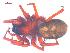 (Callobius severus - 10-SKBC-0525)  @14 [ ] CreativeCommons - Attribution Non-Commercial Share-Alike (2010) Unspecified Biodiversity Institute of Ontario