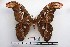  (Attacus taprobanis - BC-Mel1107)  @15 [ ] Copyright (2010) Unspecified Research Collection of Tomas Melichar