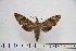 (Acosmeryx pseudomissa - BC-Mel2890)  @14 [ ] Copyright (2013) Tomas Melichar Research Collection of Tomas Mleichar