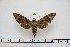 (Acosmeryx omissa - BC-Mel2894)  @14 [ ] Copyright (2013) Tomas Melichar Research Collection of Tomas Mleichar