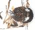 (Simulium mediocoloratum - BIOUG-01777-H01)  @11 [ ] CreativeCommons - Attribution Non-Commercial Share-Alike (2012) BIO Photography Group Biodiversity Institute of Ontario