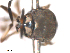 (Simulium setsukoae - BIOUG01778-D03)  @11 [ ] CreativeCommons - Attribution Non-Commercial Share-Alike (2012) BIO Photography Group Biodiversity Institute of Ontario