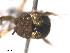 (Simulium nr. siamense - BIOUG01778-D06)  @11 [ ] CreativeCommons - Attribution Non-Commercial Share-Alike (2012) BIO Photography Group Biodiversity Institute of Ontario