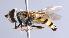( - CNC Diptera 224953)  @11 [ ] CC BY-NC-SA (2014) Jeffrey H. Skevington Agriculture and Agri-Food Canada