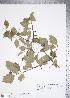 (Crataegus cupressocollina - TRT163)  @11 [ ] Copyright (2012) Tim Dickinson Royal Ontario Museum