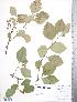 (Crataegus enderbyensis - TRT153)  @11 [ ] Copyright (2012) Tim Dickinson Royal Ontario Museum