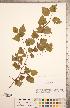 (Crataegus iracunda Beadle - TRT262)  @11 [ ] Copyright (2012) Tim Dickinson Royal Ontario Museum