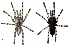 (Poecilotheria formosa - BIOGU00532-C08)  @14 [ ] Copyright (2012) Michael Morra University of Guelph