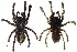 (Poecilotheria metallica - BIOGU00532-H02)  @14 [ ] Copyright (2012) Michael Morra University of Guelph