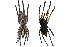 (Poecilotheria ornata - BIOGU00533-A02)  @14 [ ] Copyright (2012) Michael Morra University of Guelph