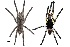 (Poecilotheria regalis - BIOGU00533-A07)  @15 [ ] Copyright (2012) Michael Morra University of Guelph