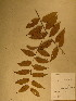  (Diospyros fragrans - GiD0210)  @11 [ ] No Rights Reserved  Unspecified Unspecified