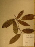  (Diospyros bipindensis - GiD0994)  @11 [ ] No Rights Reserved  Unspecified Unspecified