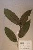 (Diospyros sp. 2 - Diossp2_PM5072)  @11 [ ] No Rights Reserved  Unspecified Unspecified