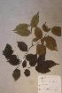 (Diospyros gracilescens - Diosgrac_PM5387)  @11 [ ] No Rights Reserved  Unspecified Unspecified