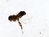 (Simulium siripoomense - SIM-CANADA-635)  @11 [ ] CreativeCommons - Attribution Non-Commercial Share-Alike (2009) Unspecified Biodiversity Institute of Ontario