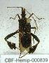 (Crinoceros - CBF - Hemip - 000839)  @11 [ ] Copyright (2011) CBF Colección Boliviana de Fauna