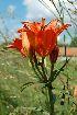 (Lilium bulbiferum - 101_1)  @11 [ ] Copyright (2013) M. Lazarus UG