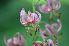 (Liliaceae - 102_1)  @11 [ ] Copyright (2013) M. Lazarus UG