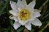 (Nymphaea alba - 126_7)  @11 [ ] Copyright (2013) M. Lazarus UG