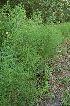 (Equisetum telmateia - 70_2)  @11 [ ] Copyright (2013) M. Lazarus UG