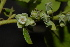 (Diospyros loureriana - OM2145)  @11 [ ] Unspecified (default): All Rights Reserved  Unspecified Unspecified