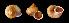 (Tropidophora sp. 092JS - UF335687B)  @11 [ ] CreativeCommons - Attribution Non-Commercial Share-Alike (2011) John Slapcinsky Florida Museum of Natural History