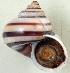 (Tropidophora sp. 026JS - UF424650A)  @11 [ ] CreativeCommons - Attribution Non-Commercial Share-Alike (2011) John Slapcinsky Florida Museum of Natural History