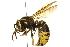 (Vespula vidua - BIOUG07541-H04)  @14 [ ] CreativeCommons - Attribution Non-Commercial Share-Alike (2013) BIO Photography Group Biodiversity Institute of Ontario