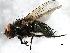 (Pollenia pediculata - 08TTML-1714)  @14 [ ] CreativeCommons - Attribution Non-Commercial Share-Alike (2010) Biodiversity Institute of Ontario 2010 Biodiversity Institute of Ontario