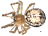 (Steatoda castanea - 03-KADIR-F03)  @14 [ ] CreativeCommons - Attribution Non-Commercial Share-Alike  Gergin Blagoev, Biodiversity Intitute of Ontario Biodiversity Institute of Ontario