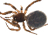 (Steatoda bipunctata - 03-KADIR-G04)  @13 [ ] CreativeCommons - Attribution Non-Commercial Share-Alike  Gergin Blagoev, Biodiversity Intitute of Ontario Biodiversity Institute of Ontario