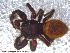(Phidippus cryptus - UAM:Ento:94890)  @14 [ ] CreativeCommons - Attribution Non-Commercial No Derivatives (2013) Derek Sikes University of Alaska Museum