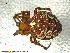 (Araneus nordmanni - UAM:Ento:113802)  @14 [ ] CreativeCommons - Attribution Non-Commercial No Derivatives (2013) Derek Sikes University of Alaska Museum
