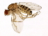 (Drosophila busckii - 13000-0081.30)  @13 [ ] CreativeCommons - Attribution Non-Commercial Share-Alike (2010) BIO Photography Group Biodiversity Institute of Ontario