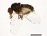 (Drosophila miranda - 14011-0101.19)  @14 [ ] CreativeCommons - Attribution Non-Commercial Share-Alike (2010) BIO Photography Group Biodiversity Institute of Ontario