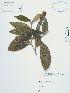 (Abatia - UDBC-BSDATA-022)  @11 [ ] CreativeCommons - Attribution Non-Commercial Share-Alike (2013) Herbario Forestal UDBC Herbario Forestal UDBC - Universidad Distrital Francisco José de Caldas