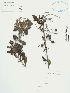 (Duranta - UDBC-BSDATA-040)  @11 [ ] CreativeCommons - Attribution Non-Commercial Share-Alike (2013) Herbario Forestal UDBC Herbario Forestal UDBC - Universidad Distrital Francisco José de Caldas