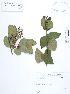 (Elaeocarpaceae - UDBC-BSDATA-060)  @11 [ ] CreativeCommons - Attribution Non-Commercial Share-Alike (2013) Herbario Forestal UDBC Herbario Forestal UDBC - Universidad Distrital Francisco José de Caldas