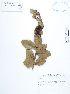 (Xylosma - UDBC-BSDATA-066)  @11 [ ] CreativeCommons - Attribution Non-Commercial Share-Alike (2013) Herbario Forestal UDBC Herbario Forestal UDBC - Universidad Distrital Francisco José de Caldas