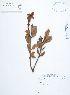 (Clethraceae - UDBC-BSDATA-070)  @11 [ ] CreativeCommons - Attribution Non-Commercial Share-Alike (2013) Herbario Forestal UDBC Herbario Forestal UDBC - Universidad Distrital Francisco José de Caldas