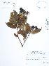 (Lafoensia - UDBC-BSDATA-072)  @11 [ ] CreativeCommons - Attribution Non-Commercial Share-Alike (2013) Herbario Forestal UDBC Herbario Forestal UDBC - Universidad Distrital Francisco José de Caldas