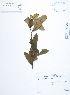 (Frangula - UDBC-BSDATA-086)  @11 [ ] CreativeCommons - Attribution Non-Commercial Share-Alike (2013) Herbario Forestal UDBC Herbario Forestal UDBC - Universidad Distrital Francisco José de Caldas