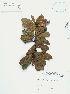 (Myrsine - UDBC-BSDATA-088)  @11 [ ] CreativeCommons - Attribution Non-Commercial Share-Alike (2013) Herbario Forestal UDBC Herbario Forestal UDBC - Universidad Distrital Francisco José de Caldas